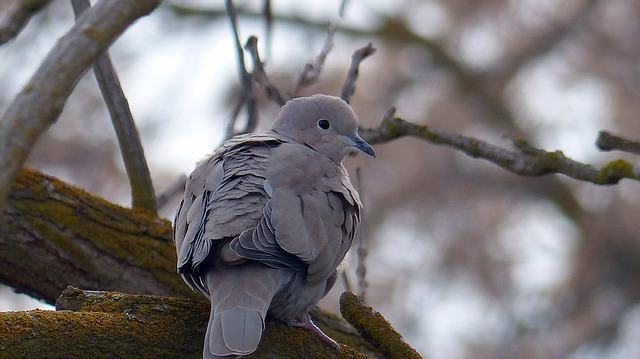 Gay Doves
