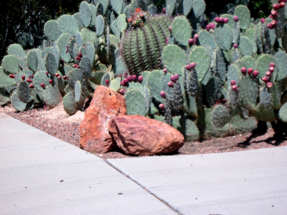 The Giant Prickly Pear CactusTree
