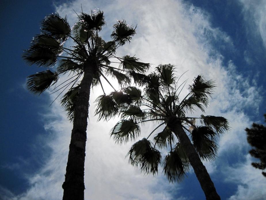 palm tree crown 1000.JPG