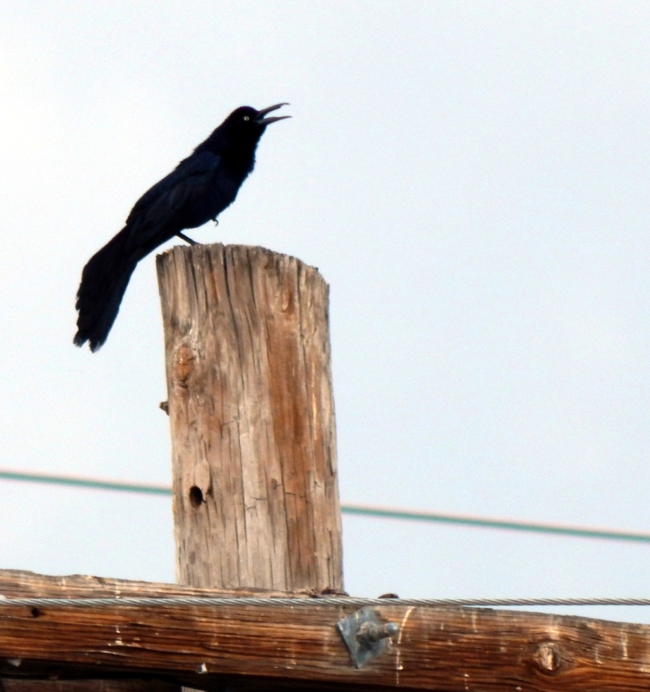 grackle-grackling