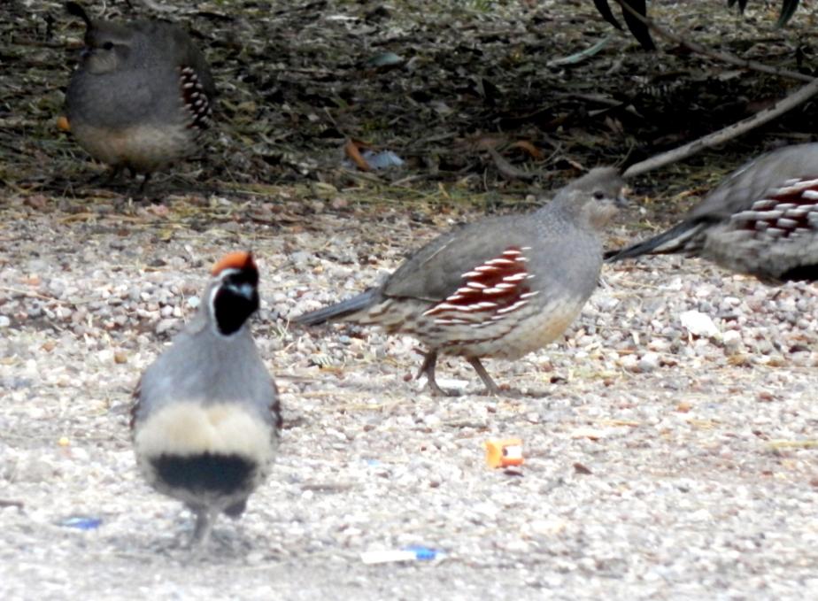 quail-1000