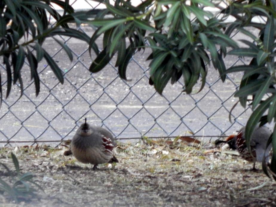 quail-2-1000