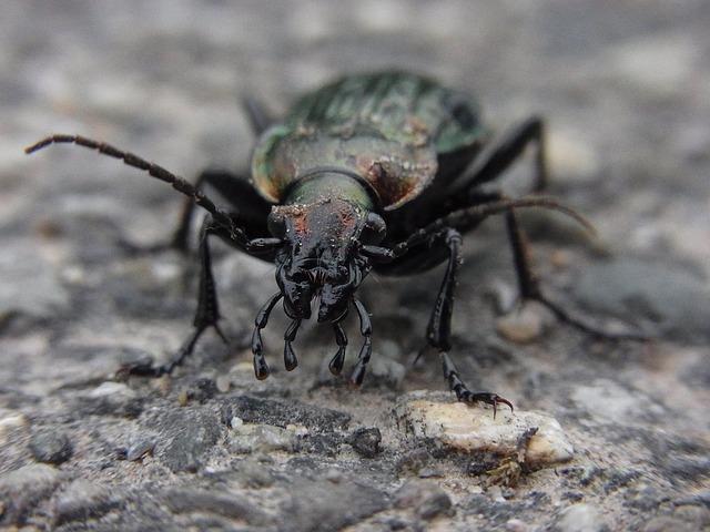 A polished beetleshell