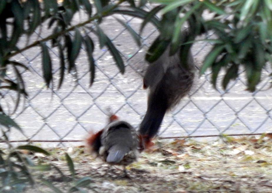 quail 4 1100