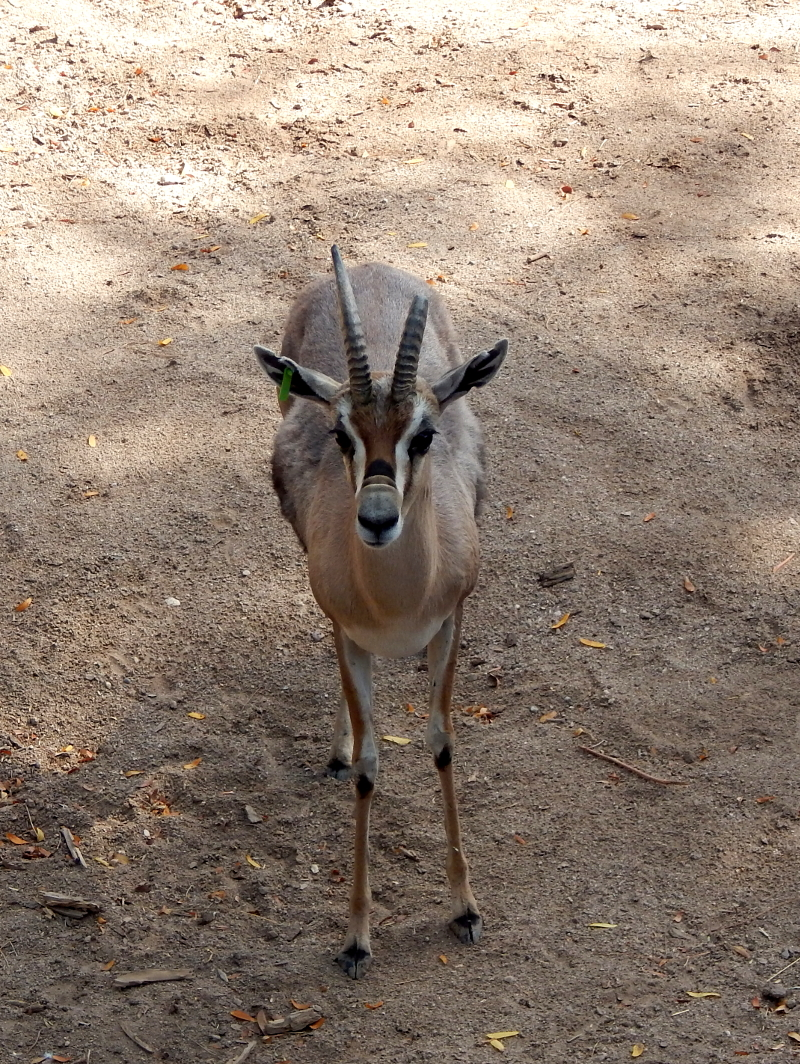 Gazelle intensity 800.JPG