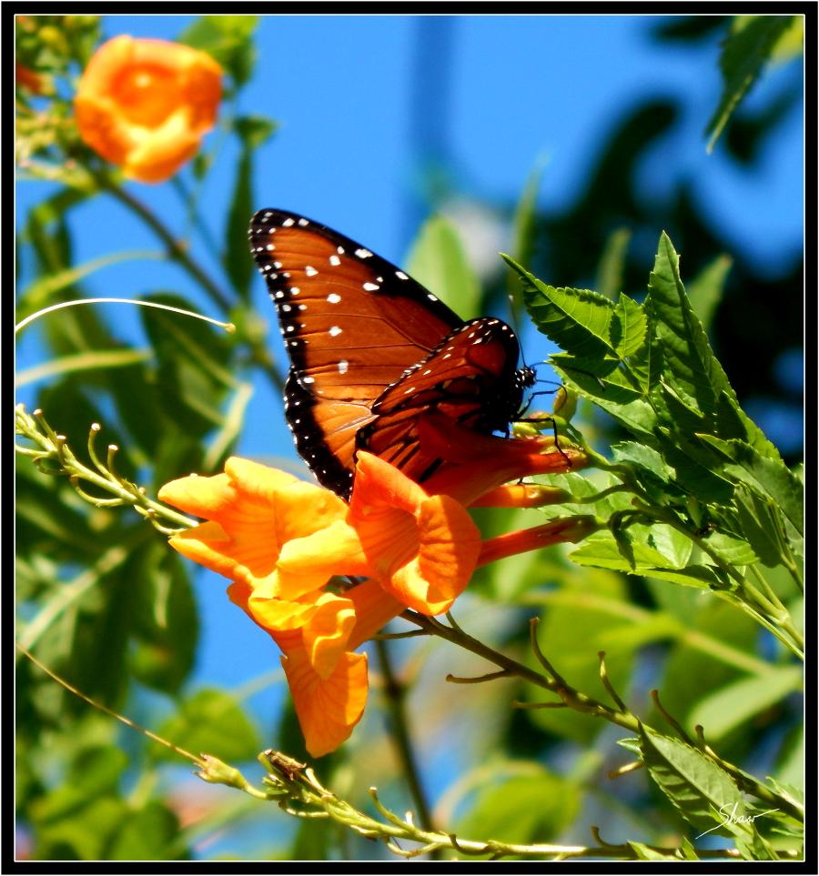 Queen Butterfly 900.jpg
